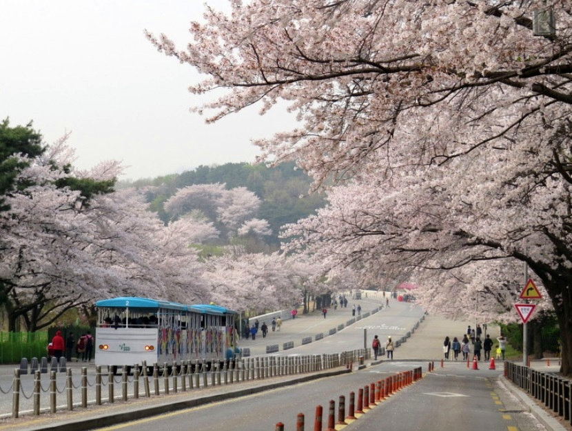 Top Places for Cherry Blossoms & Spring Flowers in Seoul - Seoul Grand Park | KoreaToDo