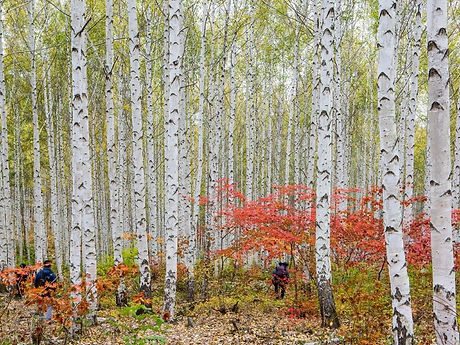 Wondaeri Birch Forest - Autumn & Getting There | KoreaToDo