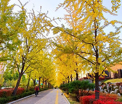 Olympic Park - KTD - Ginkgo Tree Road 3.