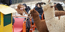 Alpaca Pasture, Nami Island & The Garden of Morning Calm Day Tour