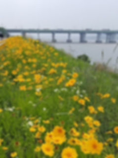 Yeouido Hangang Park - Wildflowers & Getting There | Seoul, South Korea