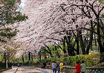 Recommended Tours from Seoul - Incheon Cherry Blossoms Day Trip | KoreaToDo