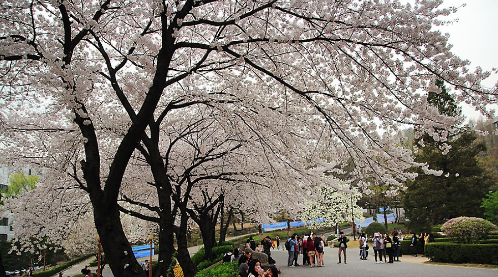 Top Places for Cherry Blossoms & Spring Flowers in Seoul - Yonsei University | KoreaToDo