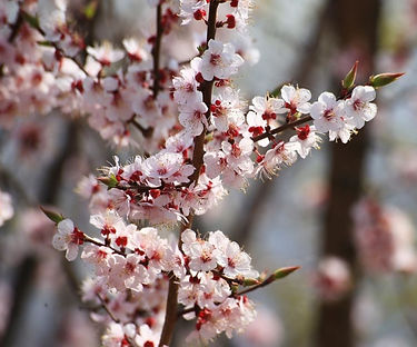 Eungbongsan (Mountain) - Cherry Blossoms in Spring & Getting There | Seoul, South Korea