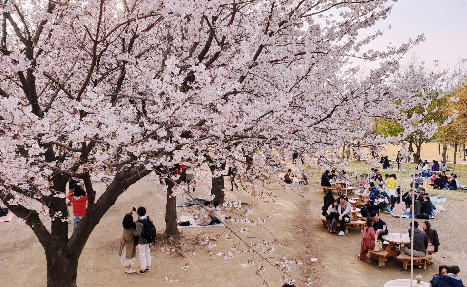 Top Places for Cherry Blossoms & Spring Flowers in Seoul - Seoul Forest | KoreaToDo