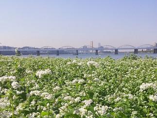 Banpo Seorae Island - Buckwheat Flower Field