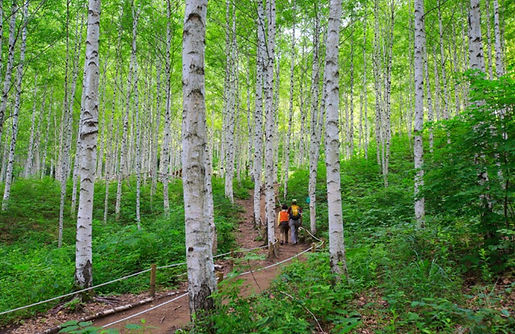 Wondaeri Birch Forest - Summer 15.jpg