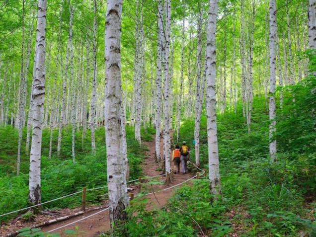 Wondaeri Birch Forest