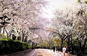 Incheon Cherry Blossom Season Day Trip (Rail Bike, Wolmido Island, etc)