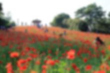 Olympic Park - Poppies in Spring (May-Jun) & Getting There | Seoul, South Korea