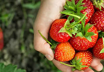 Recommended Tours from Seoul - Strawberry Picking | KoreaToDo