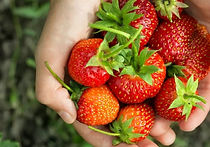 Recommended Day Tours from Seoul - Strawberry Picking | KoreaToDo