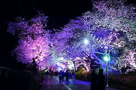 Ganghwa Island Cherry Blossom Evening Tour with Luge Ride Experience