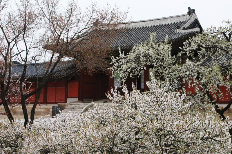 Top Places for Cherry Blossoms & Spring Flowers in Seoul - Changgyeonggung Palace | KoreaToDo
