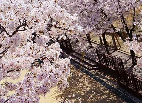 6 - 9 Days Cherry Blossoms & Spring Flowers Travel Itinerary to Seoul