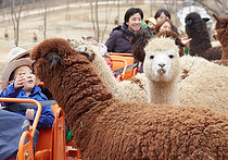 Recommended Day Tours from Seoul - Alpaca Pasture | KoreaToDo