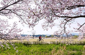 Gyeongpo Cherry Blossom & Daegwallyeong Sheep Farm Tour