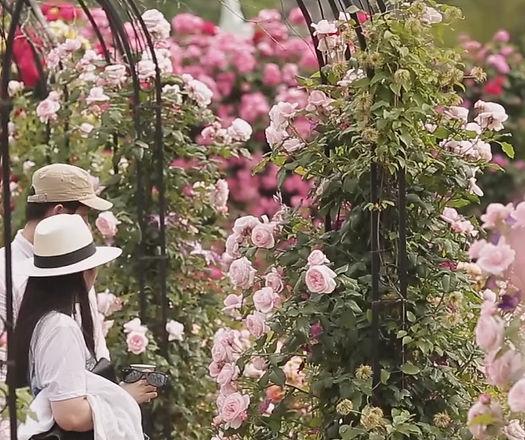 Everland Rose Festival 2021