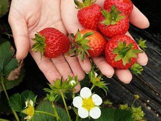 Strawberry Experience Farm