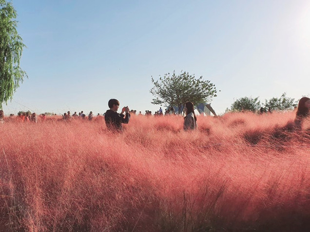 Haneul Park - Pink Muhly Grass