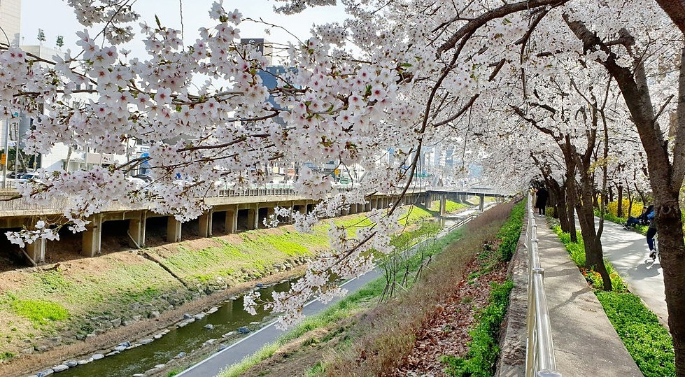 Top Places for Cherry Blossoms & Spring Flowers in Seoul - Banpocheon Stream Cherry Blossoms Trail | KoreaToDo
