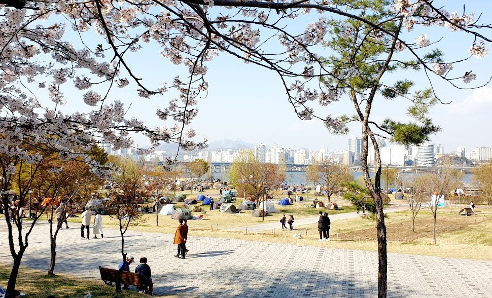 Yeouido Hangang Park - Cherry Blossoms in Spring & Getting There | Seoul, South Korea