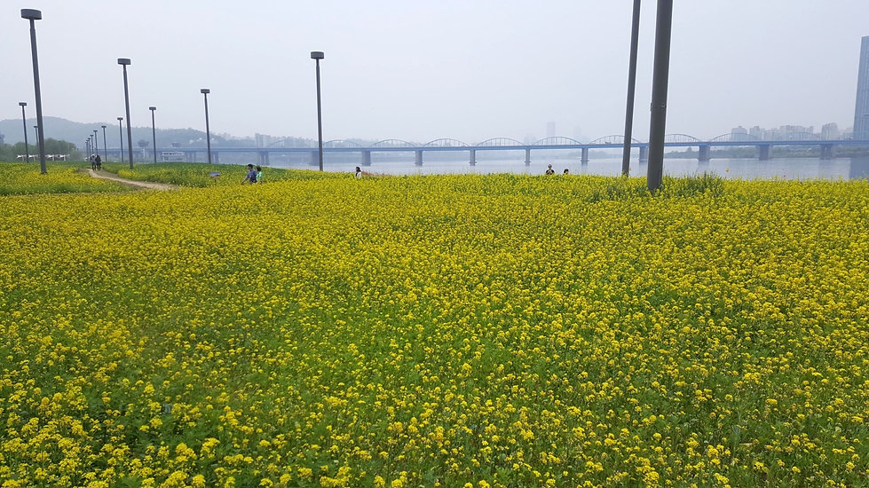 Top Places for Cherry Blossoms & Spring Flowers in Seoul - Hangang Seoraeseom Canola Festival | KoreaToDo
