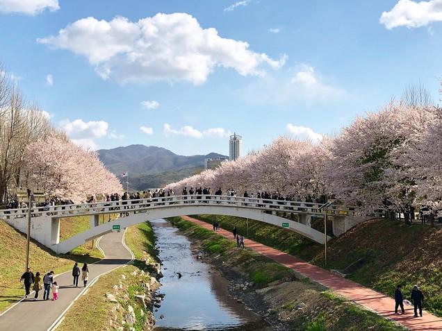 Yangjaecheon Stream Cherry Blossom Festival
