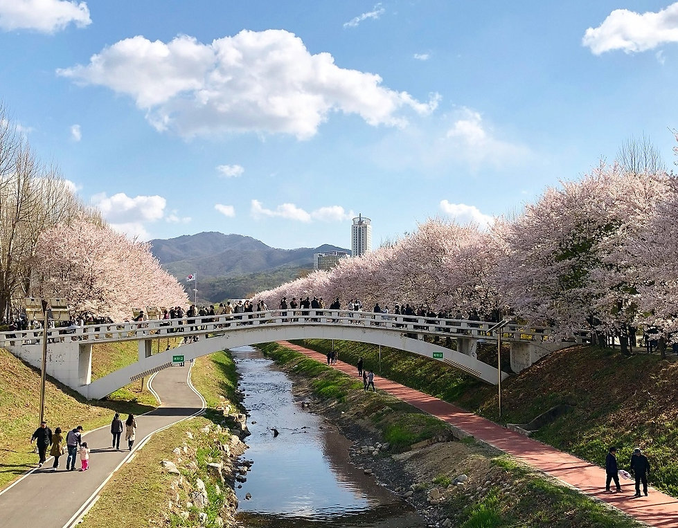 Top Places for Cherry Blossoms & Spring Flowers in Seoul - Yangjaecheon Stream Cherry Blossom | KoreaToDo