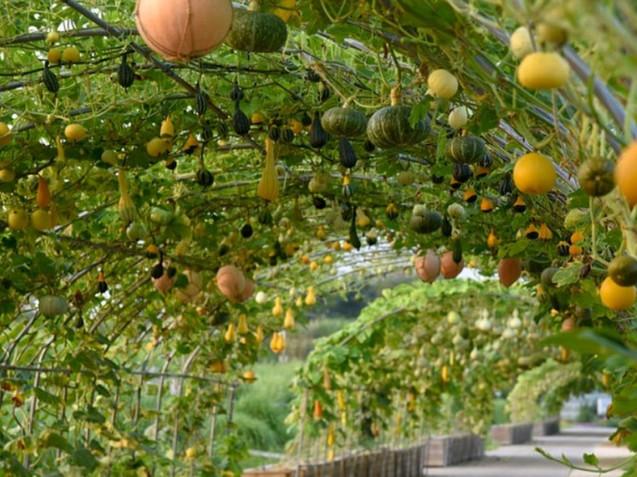 Haneul Park - Pumpkins & Gourds Tunnel