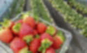 Strawberry Picking & Vivaldi Park Ski Day Tour