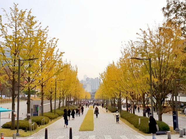 Yonsei University - Ginkgo Trees