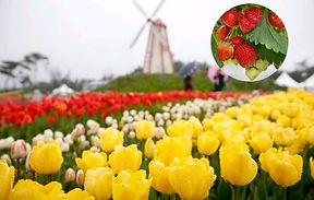 Taean Flower Festivals Trip with Strawberry Picking Experience