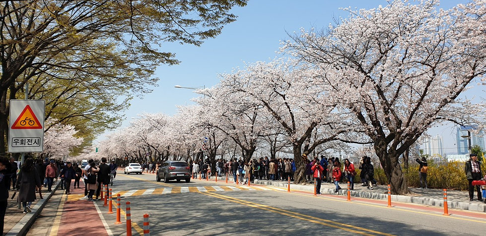 Top Places for Cherry Blossoms & Spring Flowers in Seoul - Yeongdeungpo Yeouido Spring Flower Festival | KoreaToDo