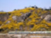 Eungbongsan (Mountain) - Forsythia Flowers in Spring & Getting There | Seoul, South Korea