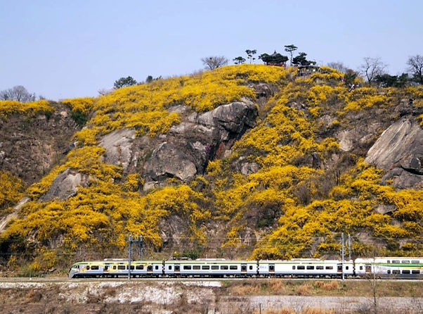 Eungbongsan (Mountain) - Forsythia Flowers in Spring & Getting There | Seoul, South Korea