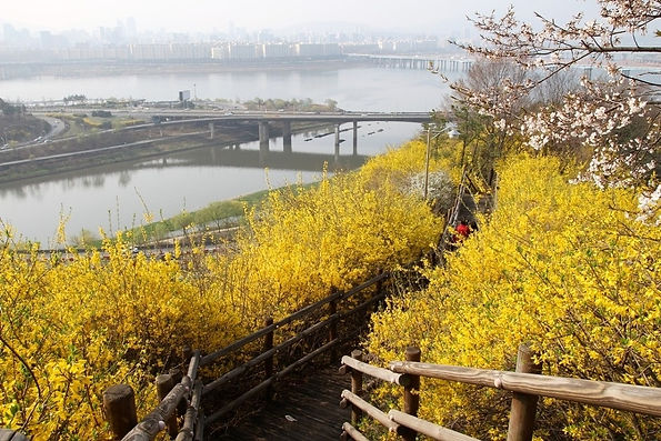 Eungbongsan Mountain Forsythia Festival 2021