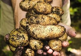 Jun-Aug: Harvesting Potatoes