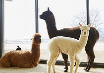 Recommended Tours from Seoul - Alpaca Pasture | KoreaToDo