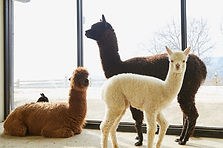 Alpaca World, Jade Garden & Mt. Gubongsan Observatory Day Tour