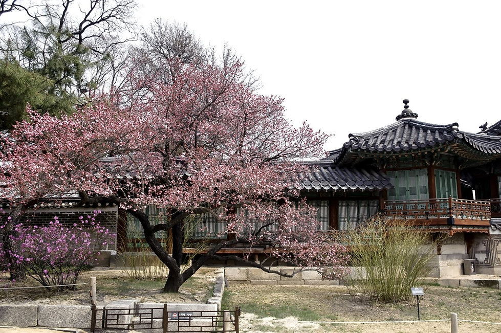 Top Places for Cherry Blossoms & Spring Flowers in Seoul - Changdeokgung Palace & Secret Garden | KoreaToDo