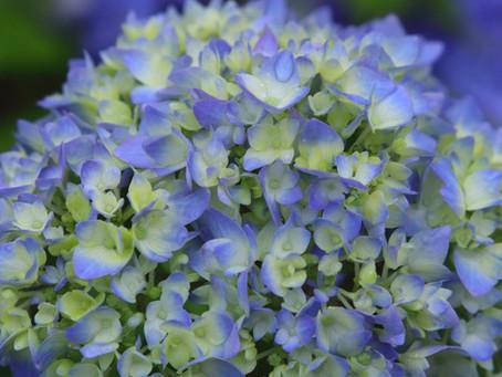 雨に濡れた紫陽花と菖蒲。太宰府は今日も美しい