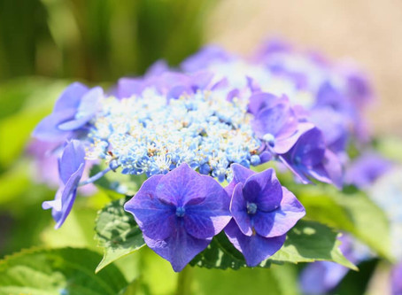 太宰府天満宮の紫陽花と菖蒲が見頃です✨