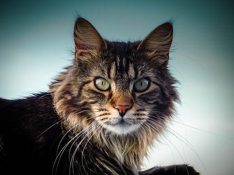 maine-coon-cat-2228866.jpg
