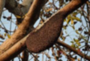 honeybees-4060349__340.jpg