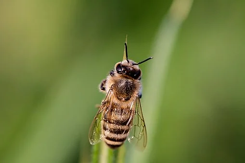 hoverfly-3454075__340.webp