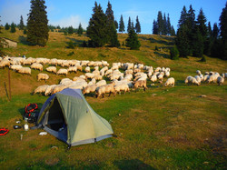 Stádo ovcí u stanu
