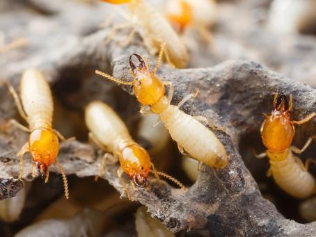 又到白蟻紛飛季節,不及時滅白蟻容易後患無窮?
