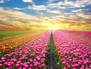 Les champs de tulipes au Pays-Bas