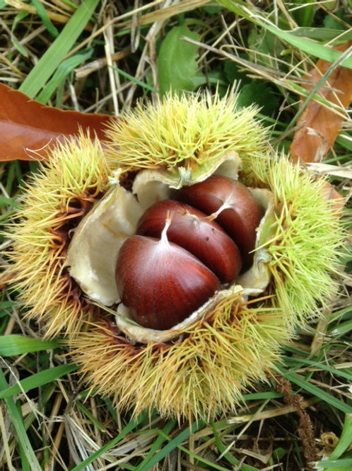 Mixed Chestnuts 2 lbs